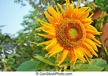 The Blooming sunflower in full color