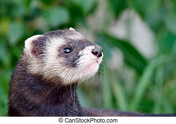 Polecat-coloured Ferret