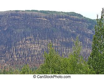 Wallow Fire burn at Alpine, AZ - Wallow Fire burned pine...