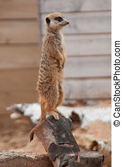 Meercat - Photo of a meercat stood on its hind legs