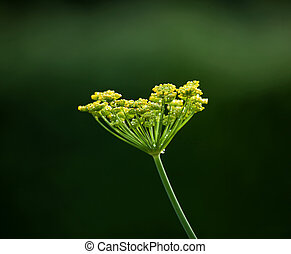 Fennel flower head - Yellow Fennel flower head isolated...