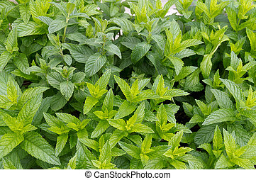 Spearmint plants ready for harvest