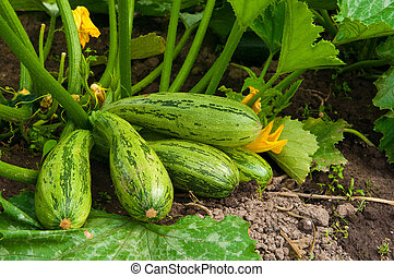 flowering marrow with fruits - marrow with 5 fruits and...