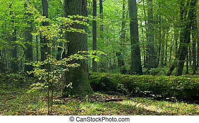 Moss wrapped trunk of broken oak lying - Moss wrapped part...