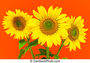 sunflowers on a red background - a bouquet of three...