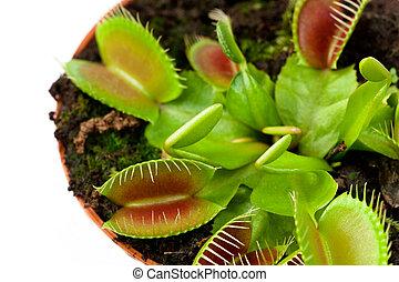 Venus flytrap in a pot - Closeup of a Venus flytrap plant...