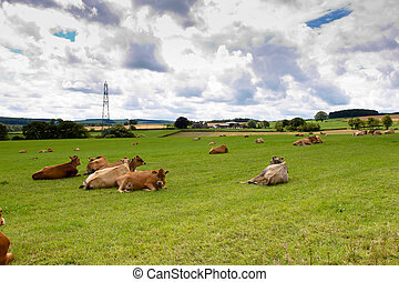 jersey calfs lying down in countryside meadow