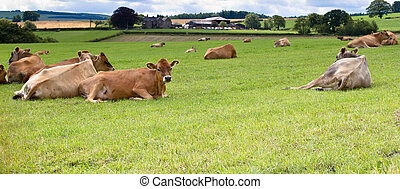 jersey calfs lying down in countryside meadow.