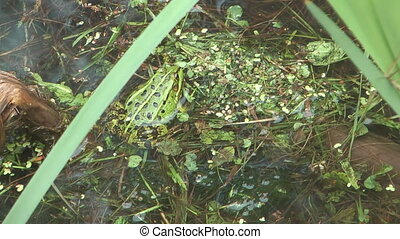 Green frog. - HD 1080 closeup shot of green frog in bog.