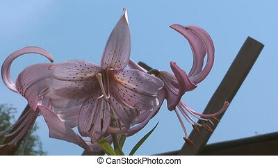 Lily. - HD 1080 closeup shot of beauty pink lily.