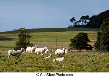 Flock of sheep on a hillside near Alnwick Norhumberland