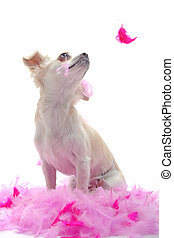 puppy chihuahua with pink feather - portrait of a cute...