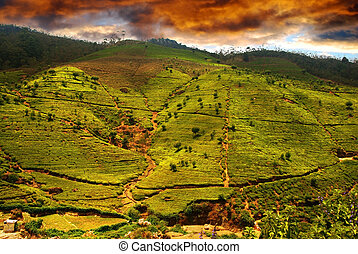 Tea plantation - Beautiful sunset over the Green tea...