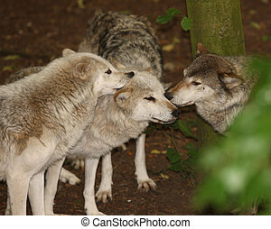 Grey Wolf - A pack of Grey Wolves