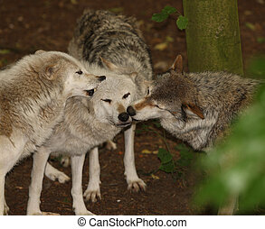 Grey Wolves - A pack of Grey Wolves