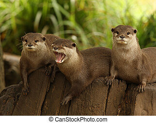 European Otters - A group of European Otters