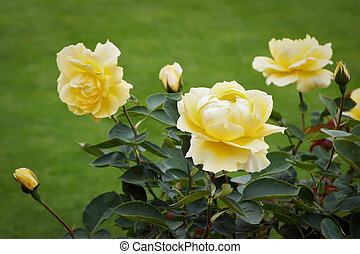 Beautiful yellow Roses (rosa) on display at Butchart Gardens