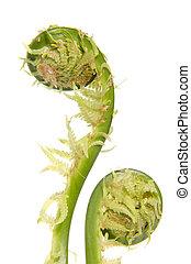 Fern leaf stems. - Fern leaf stems wound up in a circle....