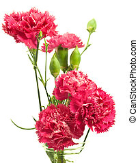 pink carnation array over white - pink carnation array in...