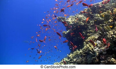 coral reef red fish