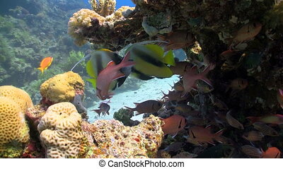 bannerfish on coral reef, Red sea