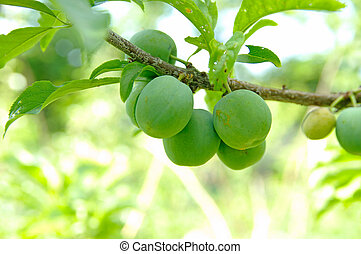 unripe green plums on tree, - unripe green plums on tree at...