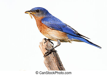 Isolated Bluebird On A Perch With A Worm - Eastern Bluebird...