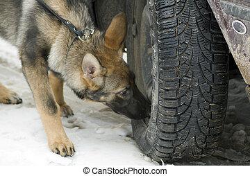 Police german shepherd searching drugs and explosive.