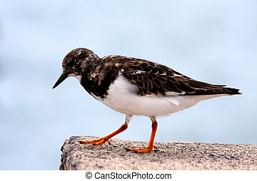 Ruddy Turnstone (Arenaria interpres) seabird perched on a...