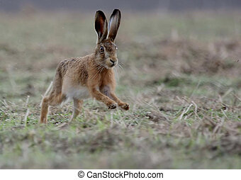 Brown Hare running across field