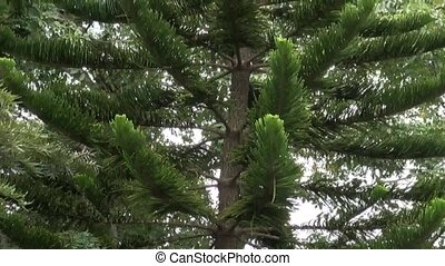 Evergreen tall tree in the garden