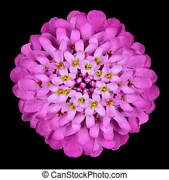 Pink Iberis Flower Head Isolated on Black - Isolated Pink...