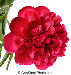 Peony flower on white background