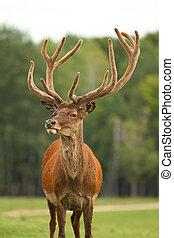 Deer - A view of an antlered deer in field