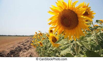 sunflowers against a blue clear sky