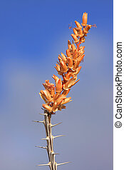 Desert flower - Fouquieria splendens wild flowers in Sonoran...