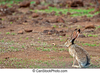 A hare on the road - Tuitan, Durango, Mexico