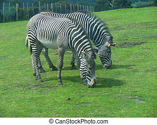 2 Zebras In A Field