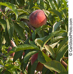 Ripe Peaches - Ripe peaches waiting to be picked