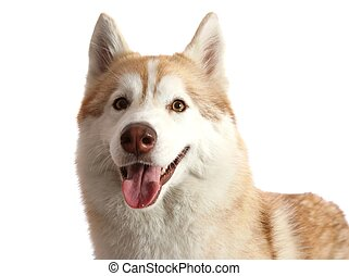 Husky Dog Portrait - Portrait of a beautiful brown and white...