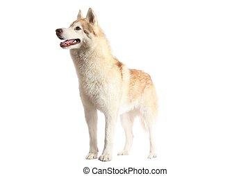 Alert Husky Dog - Husky dog with brown and white fur...