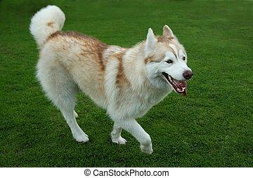 Husky Dog Playing on Green Grass - Beautiful Husky dog...