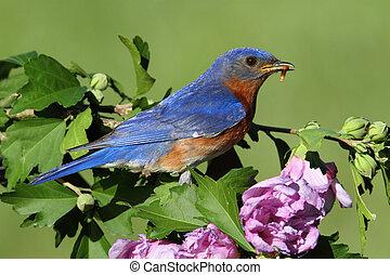 Eastern Bluebird - Male Eastern Bluebird (Sialia sialis) in...