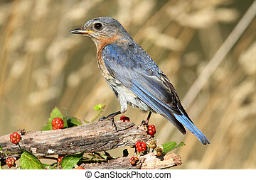 Eastern Bluebird - Female Eastern Bluebird Sialia sialis on...