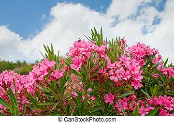 pink flowers of oleander