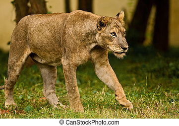 Asiatic lioness on the prowl - Critically endangered asiatic...