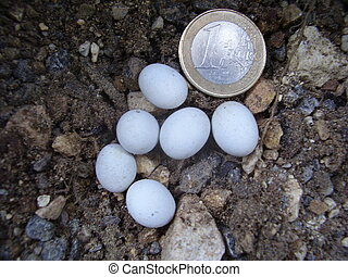 Snake Eggs - Close up of snake eggs next to a 1 Euro coin to...