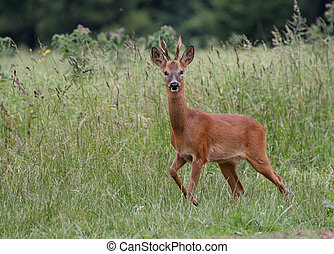 Roe Deer 2 - Roe Deer in a field