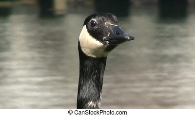 Canada Goose - Close Up - A lone Canada Goose eating grass...