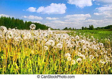 Charm of summer - Dandelions in a grass and the fine dark...